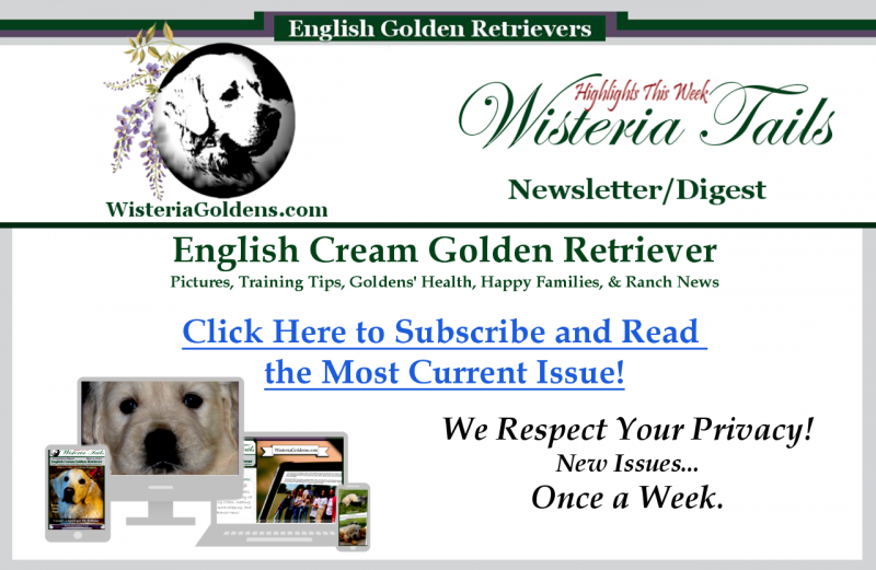 Newsletter Wisteria Tails English Cream Golden Retriever Puppy Pictures, Training Tips, Goldens Health, and More Ranch News!