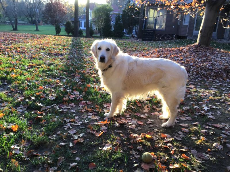 Katy Sunny Ego English cream golden retriever happy families happy families puppy picture and update