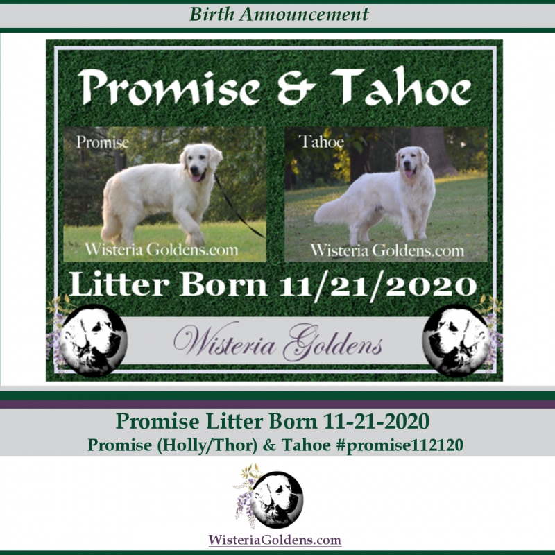 Promise litter born 11-21-20 English Cream Golden Retriever Puppy Pictures. Wisteria Goldens raised as part of our family until they become part of yours.