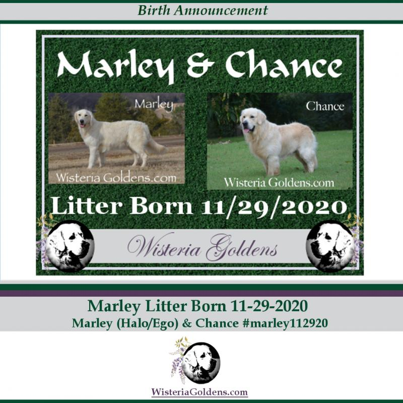 Marley Litter Born 11-29-2020 Marley/Chance English Cream Golden Retriever Puppy Pictures Wisteria Goldens raised as part of our family until they are part of yours.