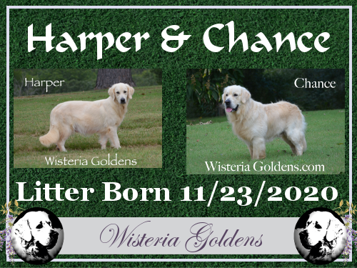 Available Puppies Wait List English Cream Golden Retriever Puppy Pictures Adoption Process. Wisteria Goldens are raised as part of our family until they are part of yours.