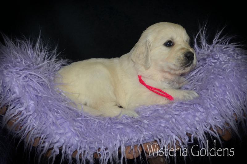 four week puppy pictures #harper112320 English Cream Golden Retriever Wisteria Goldens
