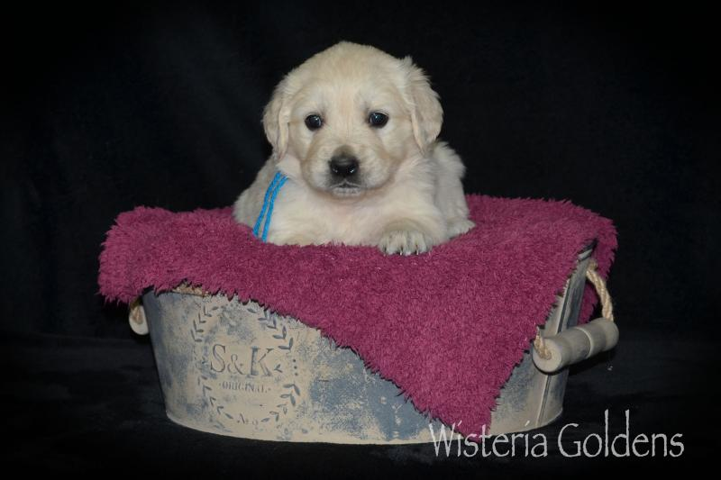 five week old english golden puppy pictures wisteria goldens raised as part of our family until they are part of yours.