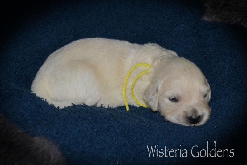Two week puppy pictures
