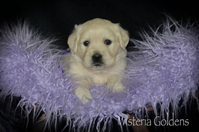 four week old english golden puppy pictures marley112920 Marley (Halo/Ego) & Chance. Wisteria Goldens part of our family until they are part of yours.