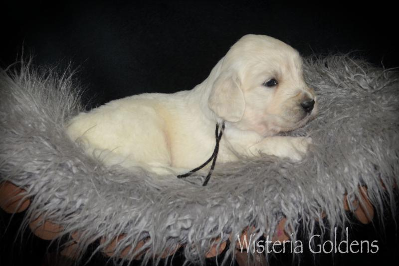 Puppy Pictures four week old english cream golden retriever puppies Wisteria Goldens #promise112120