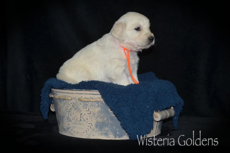puppy pictures english cream goldens five weeks old #promise