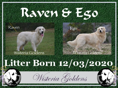 Raven Litter Born 12-03-2020 English Cream Golden Retriever puppy pictures raised as part of our family until they are part of yours Wisteria Goldens
