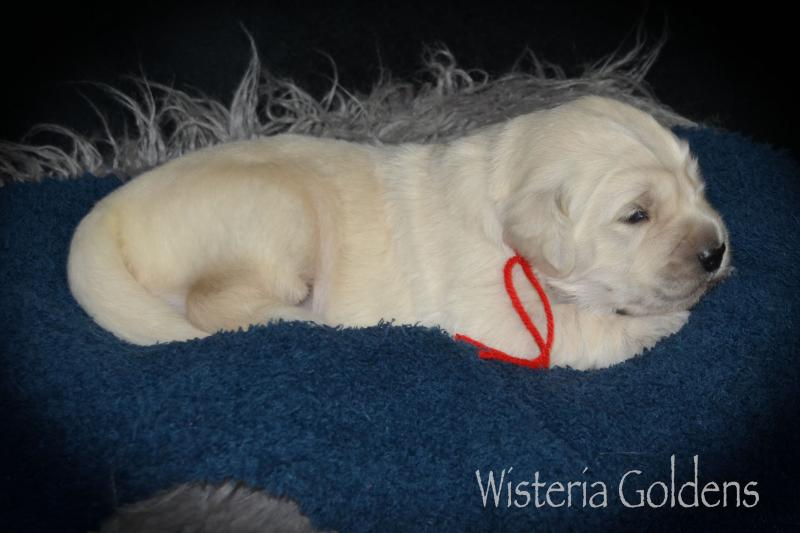 Two Week Puppy Pictures English Cream Golden Retriever Wisteria Goldens AR Part of our Family until they are part of Yours!