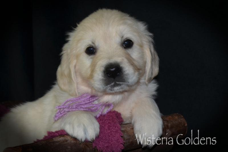 Harper Litter Born 11-23-2020 #harper112320 Six Week Playtime Video and Pictures. Wisteria Golden English Cream Golden Retriever puppies are raised as part of our family until they are part of yours.