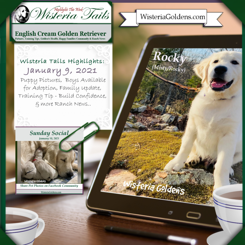 newsletter wisteria tails english cream golden retriever puppy pictures, family updates, news, training tips, and more ranch news once a week