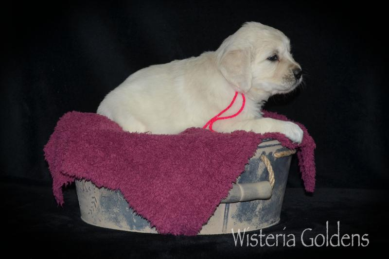five week english cream golden retriever puppy pictures marley wisteria goldens