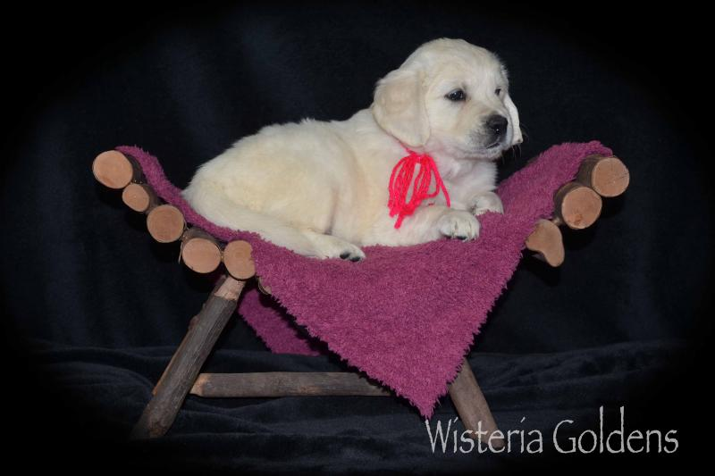 marley puppies six week pictures. English Cream Golden Retrievers Wisteria Goldens