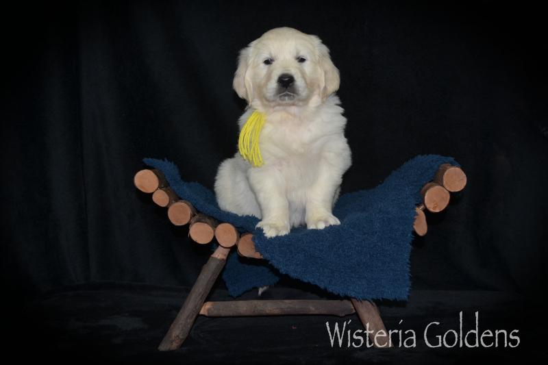 Six Week Puppy Pictures and Playtime Video English Cream Goldens Promise (Holly/Thor) & Tahoe.