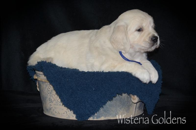 Raven Five Weeks English Golden (Wisteria Goldens Raised as part of our family until they are part of yours).