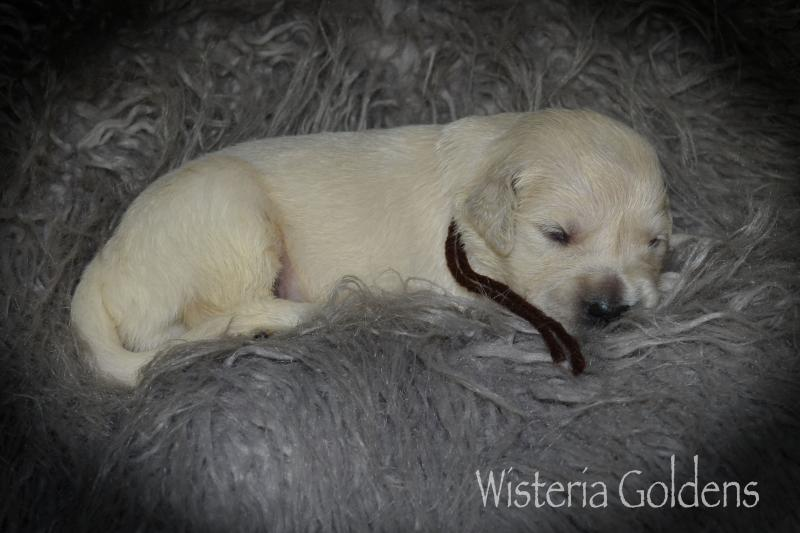 Faith two week pictures english cream golden wisteria golden retriever puppy pictures