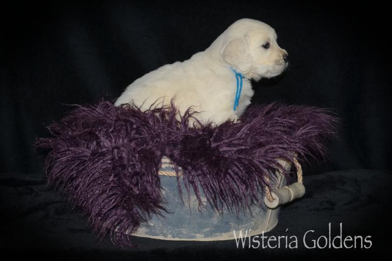 faith 020821 Five Week pictures English Cream Golden Retriever puppies Wisteria Goldens