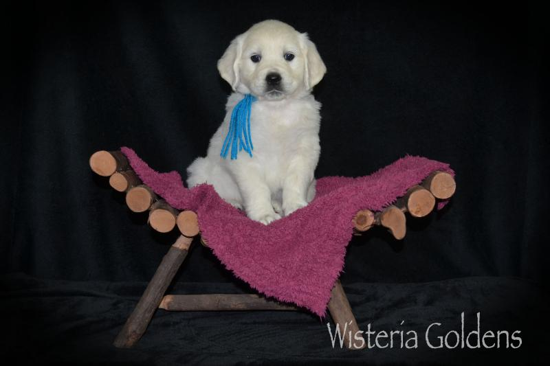 English golden six week puppy pictures