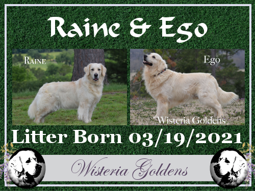 Available Puppies Current Litters Raine / Ego 03-19-2021