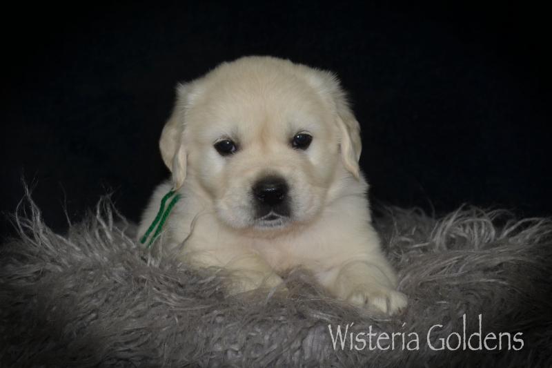 Brighton Litter Puppy Pictures Five Week Pictures #brighton032521 Wisteria Goldens English Cream Golden Retriever Puppies