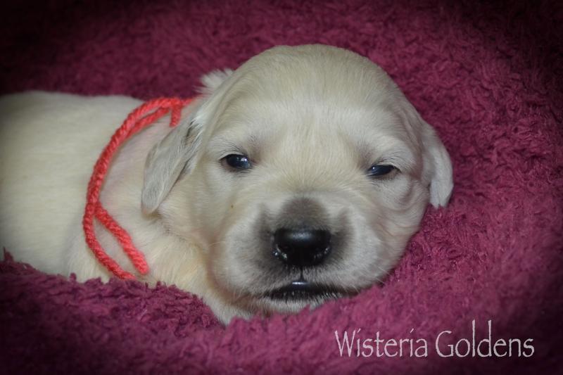 two week english cream golden retriever puppies