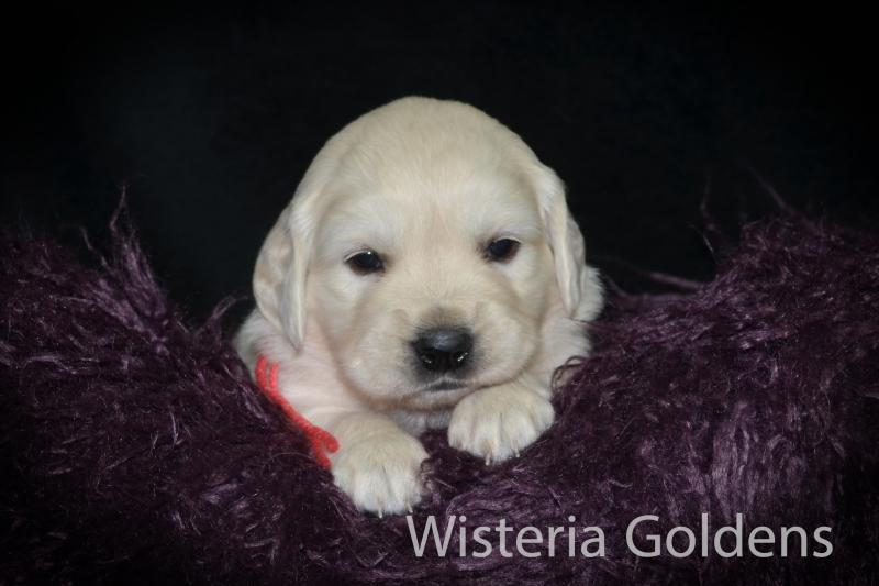 Brighton Litter Puppy Pictures #brighton032521 Four Week Pictures