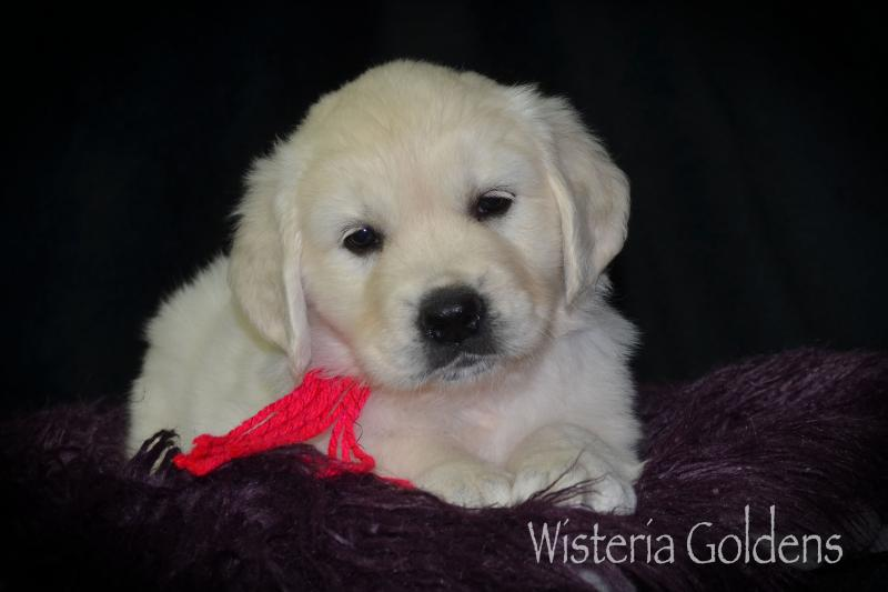 Wisteria Goldens English Golden Retriever English Cream Six Week Puppy Pictures Pick Your Puppy Day Archive