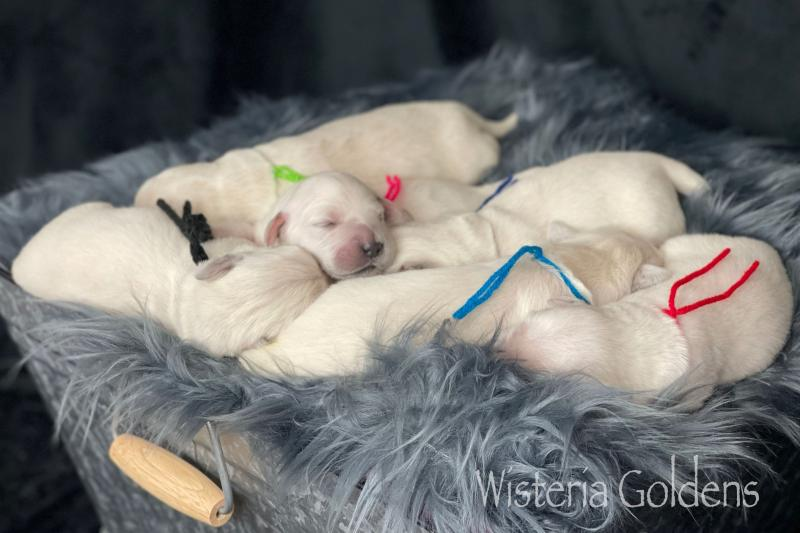 Marley Litter Born 06-21-2021 English Golden Retriever Newborn Puppy Picture Wisteria Goldens