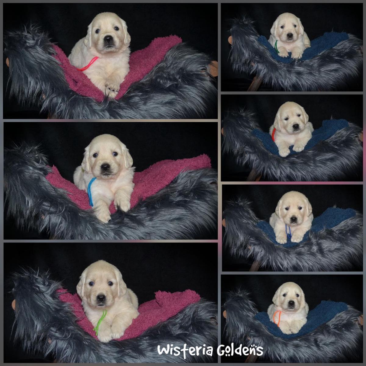 Raven Litter born 07-03-2021 Raven/Ego #raven070321 Four Week collage
