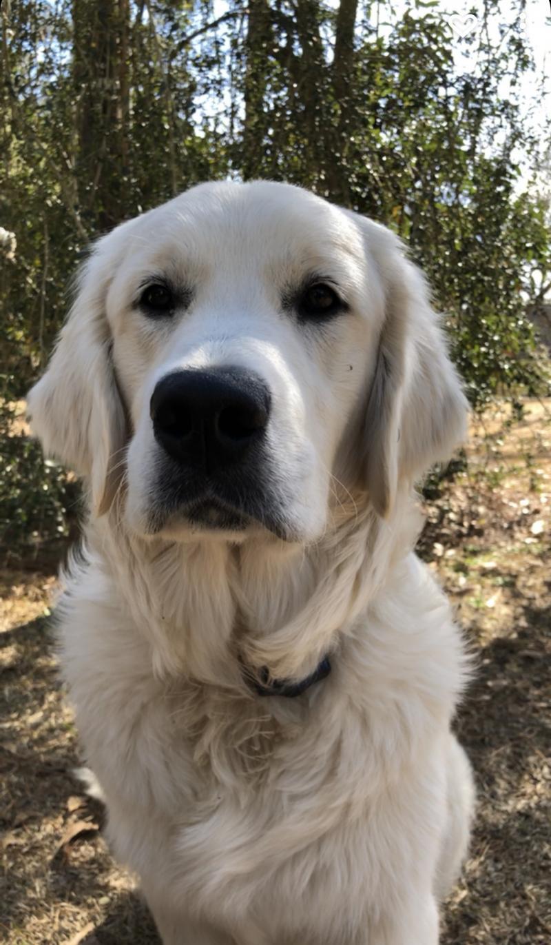 Murray (Hope/Tahoe) English Cream Golden Retriever - Wisteria Goldens Happy Families Puppy Update. Wisteria Goldens Family Puppy Picture and Update.
