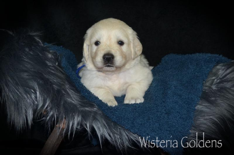 Four Week Puppy Pictures #harper062921 Harper Wisteria Harp of Love (Piper /Ego) & Chance Believe in Love of Clear Passion