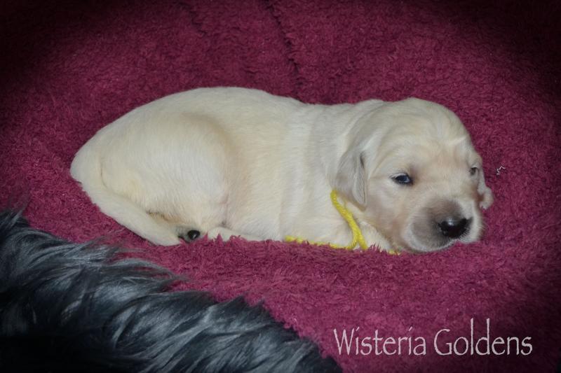 Yellow Girl Two Weeks