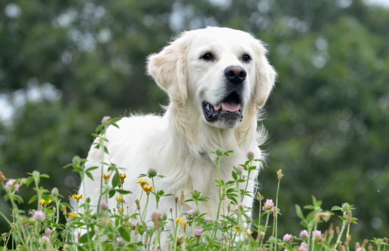 bowie marley chance wisteria goldens english cream golden retriever puppy update happy family adoption review