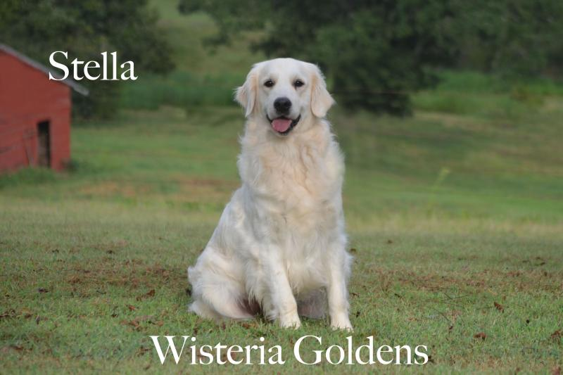 Wisteria Stella Rose (Jazz/Ego) Our Dogs Wisteria Goldens Our Girls English Golden Retriever 4th generation Wisteria Golden.