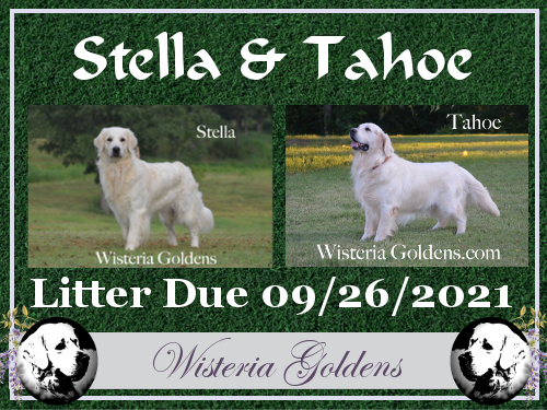 Upcoming Litters Stella and Tahoe